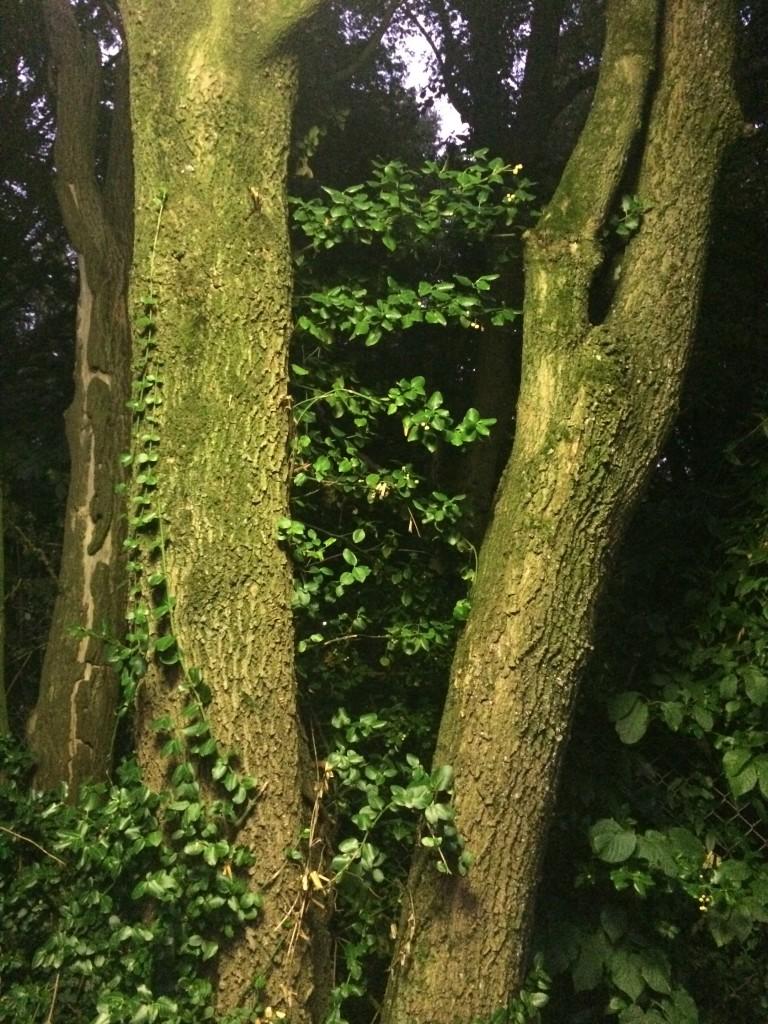 Baum mit Efeu in Winterberg