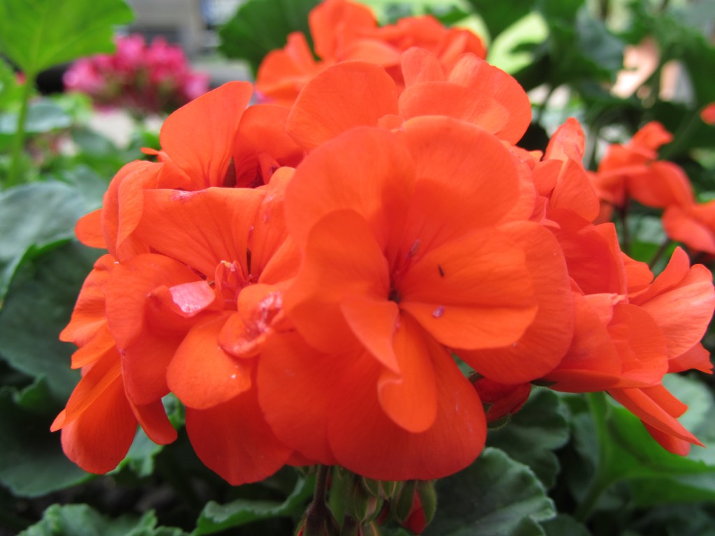 Rheda-Wiedenbrück Rote Blumen Flora Westfalica