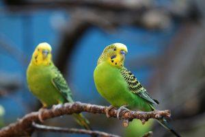 (cpaulfell/Shutterstock.com) Ausflugsziel Vogelpark Heiligenkirchen - Wellensittiche